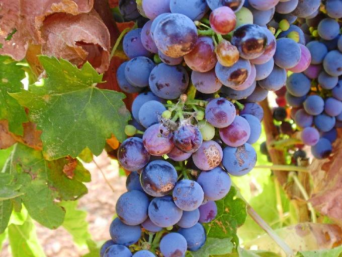Los vinos protegidos de Cariñena, pioneros en España en la utilización de una técnica ecológica antiplagas