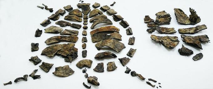 Parte del esqueleto del holotipo (ejemplar de referencia) de la nueva tortuga primitiva Aragochersis.